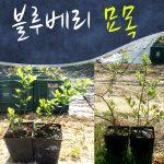 장수 블루베리 묘목 10주묶음/포트묘/블루베리 나무